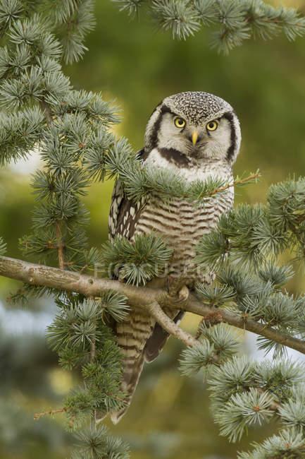 Halcón-buho norteño perchado en la rama del árbol del abeto en el bosque. - foto de stock