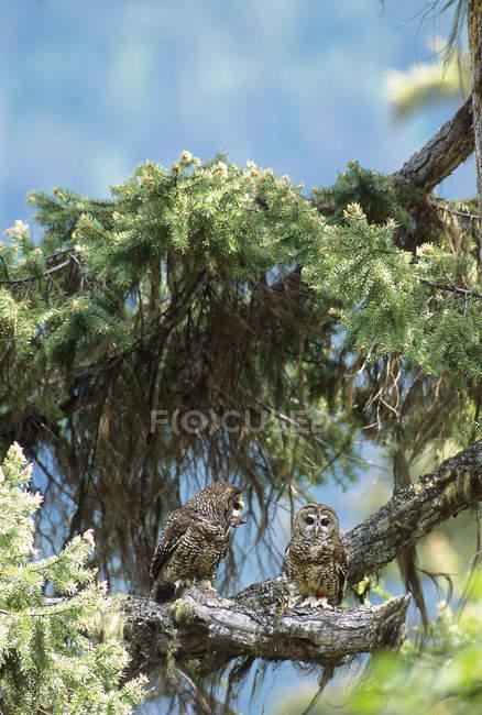 Visto búhos sentados en las ramas de los árboles del abeto del norte. - foto de stock