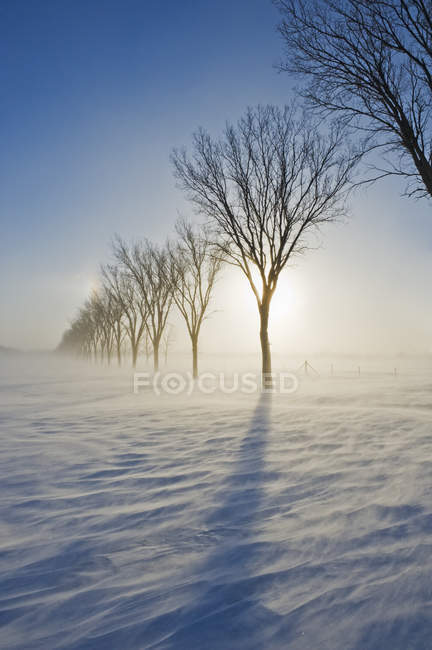 Poudrerie et rangée d'arbres en hiver près de Saint Adolphe, Manitoba, Canada — Photo de stock