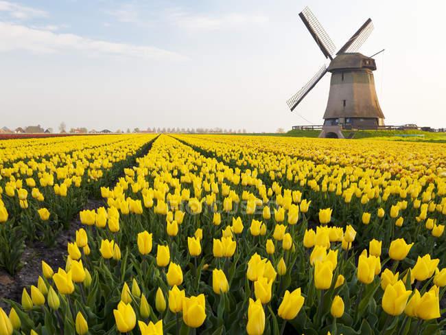 Ветряная мельница и Желтые тюльпаны поле вблизи Шермерхорн, Северная Голландия, Нидерланды — стоковое фото