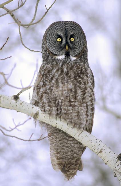 Erwachsener Uhu hockt auf Birkenzweig im winterlichen Wald. — Stockfoto