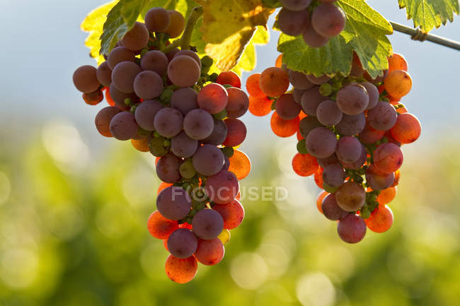 Ripe Gewurtztraminer grapes growing in vineyard in sunlight. — Stock Photo