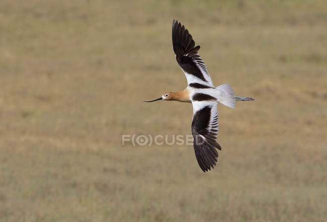 Pássaro de American avocet em voo sobre a pradaria. — Fotografia de Stock