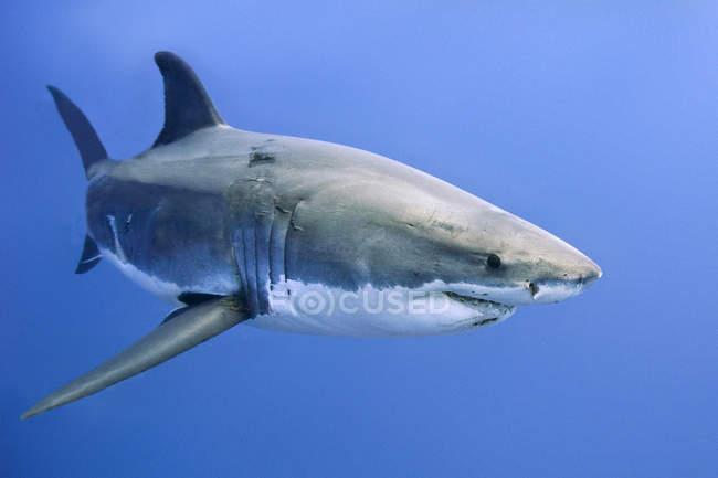 Grande squalo bianco che nuota nell'acqua blu del mare . — Foto stock
