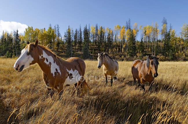 Pferde grasen auf Ranch Wiese im Cariboo Region, Britisch-Kolumbien, Kanada — Stockfoto