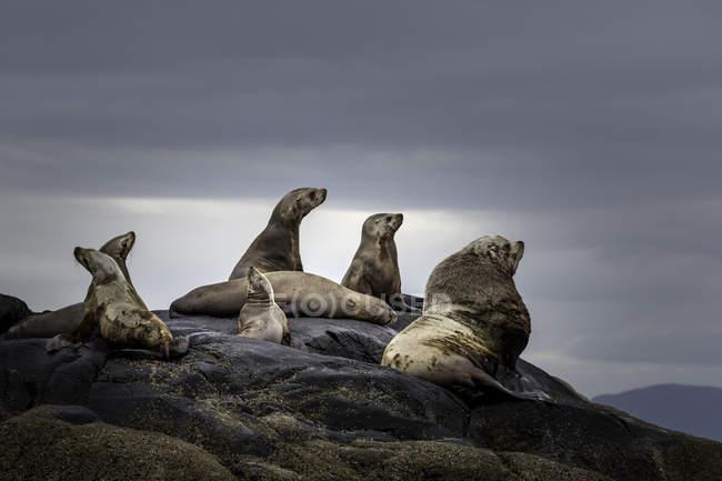 Чубата Блакитна морських левів, відпочиваючи на узбережжі Британської Колумбії, Канада — стокове фото