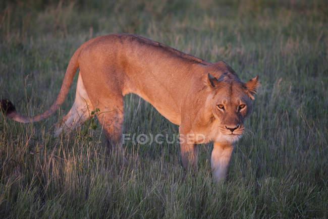 Löwe im Rasen des Chobe Nationalpark, Botswana, Afrika — Stockfoto