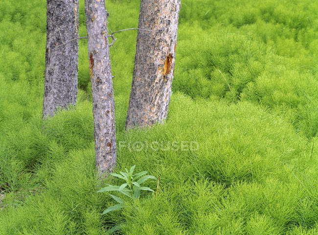 Horsetail and lodgepole pines in green bushes, Kananaskis Country, Alberta, Canada — Stock Photo