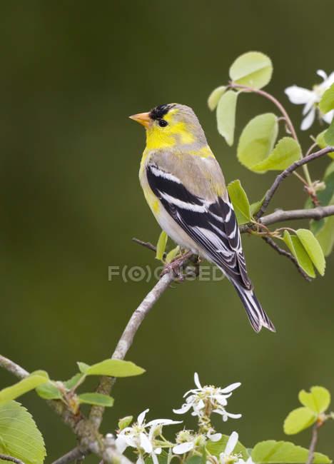 Cardellino americano uccello appollaiato sul ramo di albero, close-up. — Foto stock