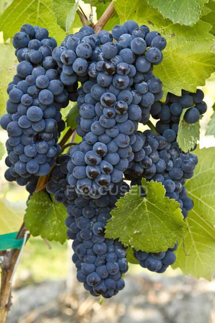 Стиглі Піно Нуар винограду ростуть у винограднику. — стокове фото