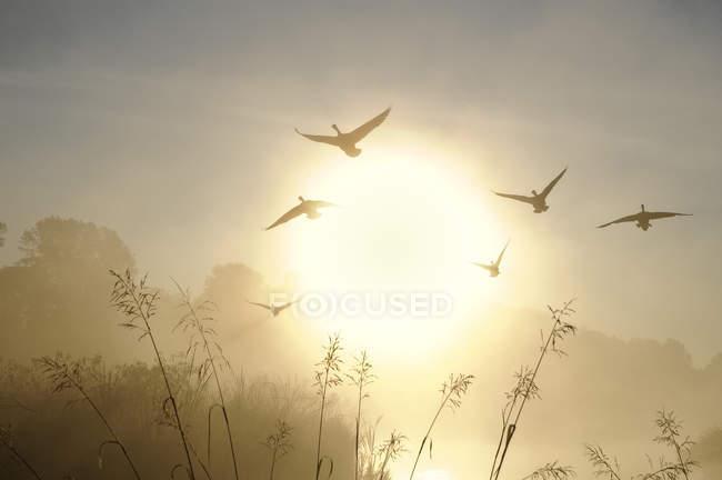 Oche canadesi che volano in cielo all'alba nel Burnaby Lake Regional Park, Columbia Britannica, Canada — Foto stock