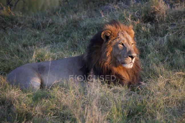 Männlicher Löwe ruht im Grasland des Moremi-Nationalparks, Okavango-Delta, Botswana, Afrika — Stockfoto