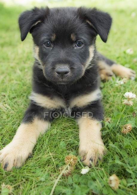 Portrait de chiot de race mixte reposant sur l'herbe verte . — Photo de stock