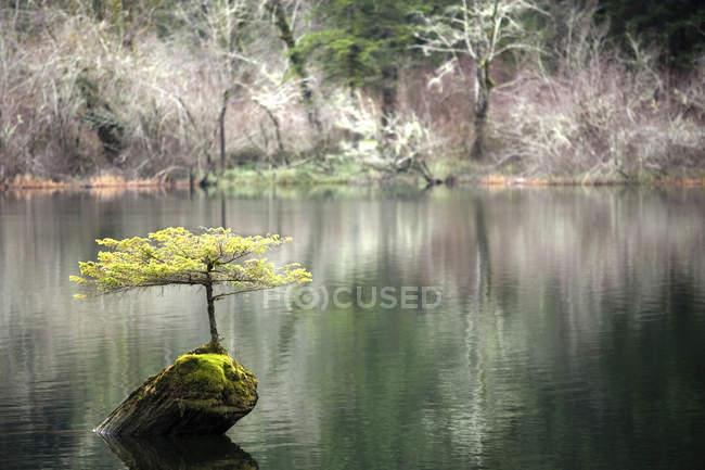 Petit arbre poussant à partir de billes coulées dans le lac Fairy, île de Vancouver, Colombie-Britannique, Canada — Photo de stock
