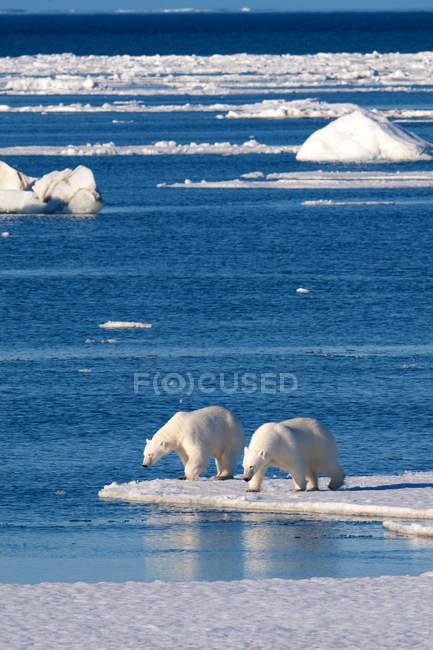 Orsi polari in piedi sulla costa ghiacciata dell'arcipelago delle Svalbard, nell'Artico norvegese — Foto stock