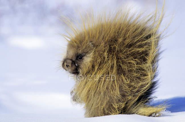 Porcs-épics cherchant de la nourriture sur la neige en hiver en Saskatchewan, Canada — Photo de stock