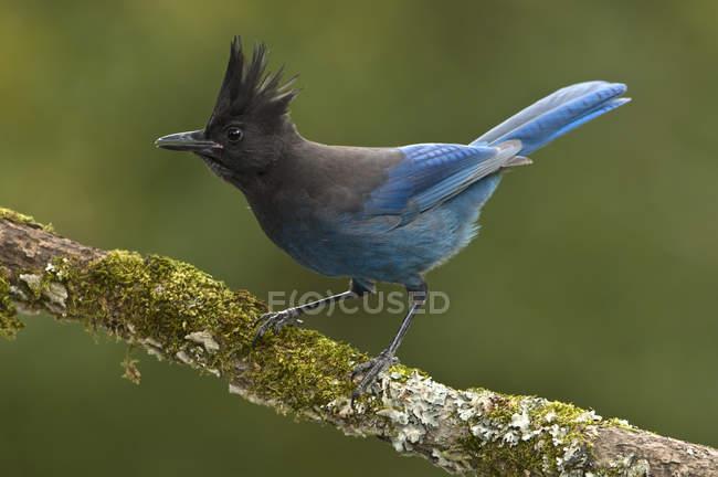 Nahaufnahme eines Eichelhäher-Vogels, der auf einem moosbedeckten Ast hockt. — Stockfoto