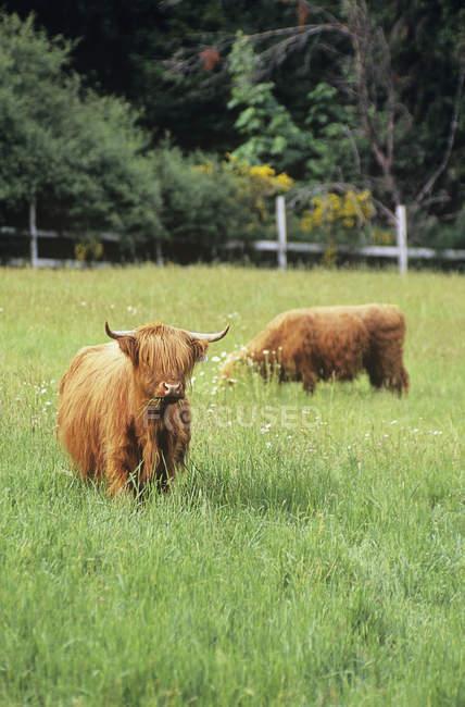 Vaches Highland paissant sur la ferme, l'île de Vancouver, Colombie-Britannique, Canada. — Photo de stock