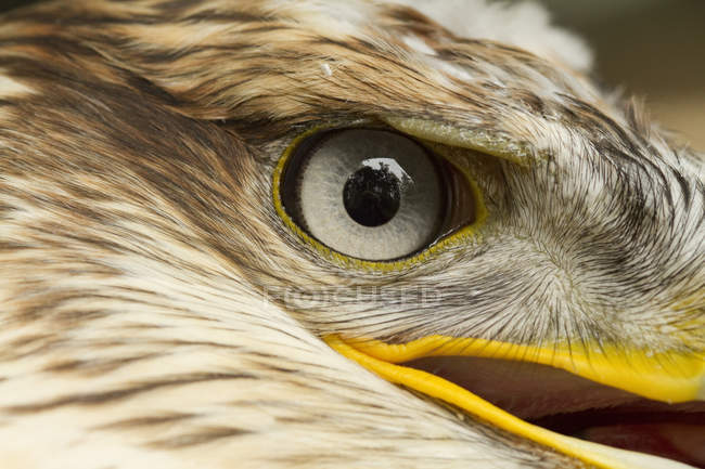 Primo piano dell'occhio di uccello Poiana codarossa. — Foto stock