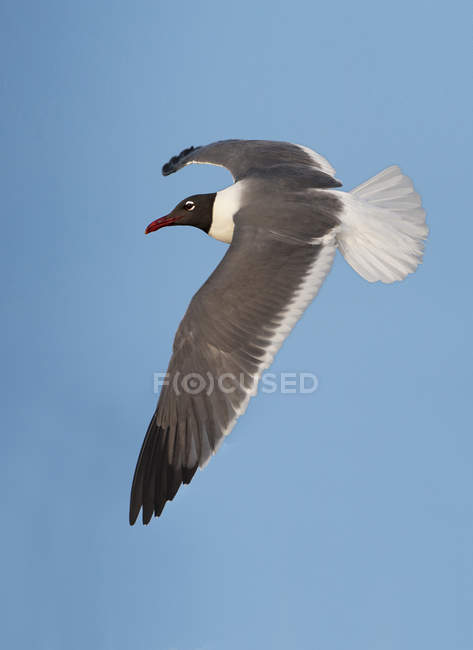 Gabbiano volo contro cielo blu con le ali spiegate di risata. — Foto stock