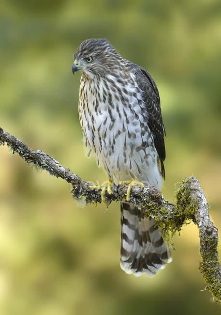 Cooper halcón encaramado en la rama del árbol - foto de stock