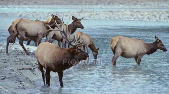 Мытье лосей и питьевая вода в реке в Альберте, Канада . — стоковое фото
