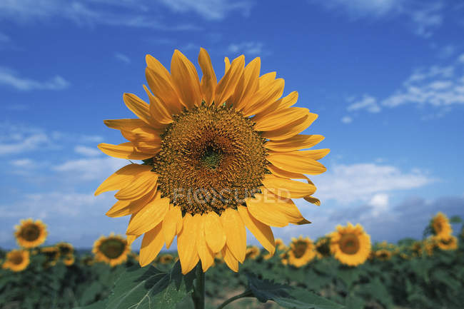 Sunflower seed head rising over plants in field, British Columbia, Canada. — стокове фото