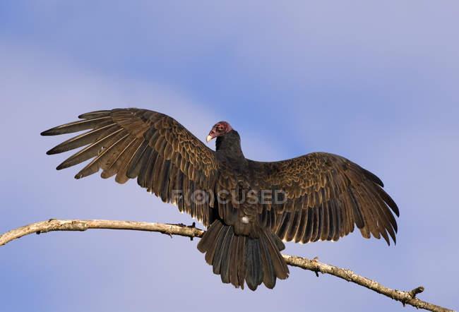Avvoltoio della Turchia ala ali tesa appollaiato sul ramo. — Foto stock