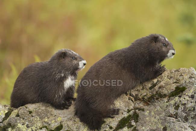Два острова Ванкувер сурок, сидя на скалах в зеленом поле. — стоковое фото