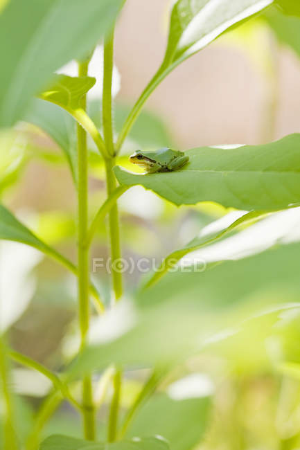 Pacific tree frog sitting on plant leaf, close-up — Stock Photo