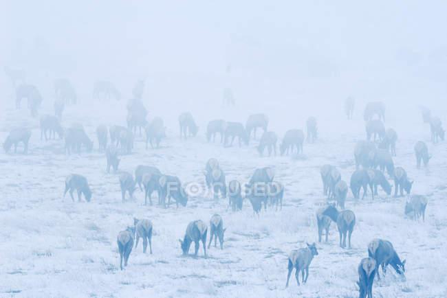 Elk herd in early morning fog at Waterton Lakes National Park, Alberta, Canada. — стокове фото