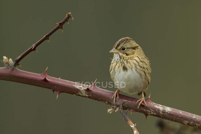 Lincolns sparrow perched on spiky branch, close-up — Stock Photo
