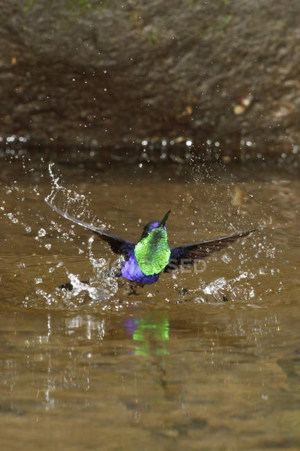 Violet-crowned woodnymph hummingbird bathing in stream of tropical forest, close-up. — Stock Photo