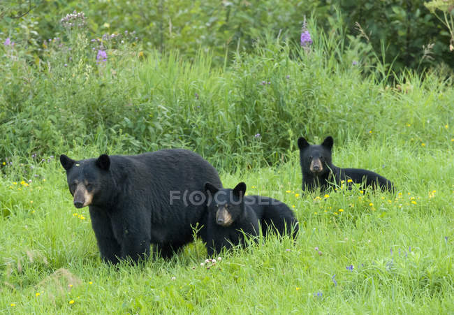 Дикий американский черный медведь с детёнышами, гуляющими по цветущему и травянистому лугу возле озера Верхнее, Онтарио, Канада — стоковое фото