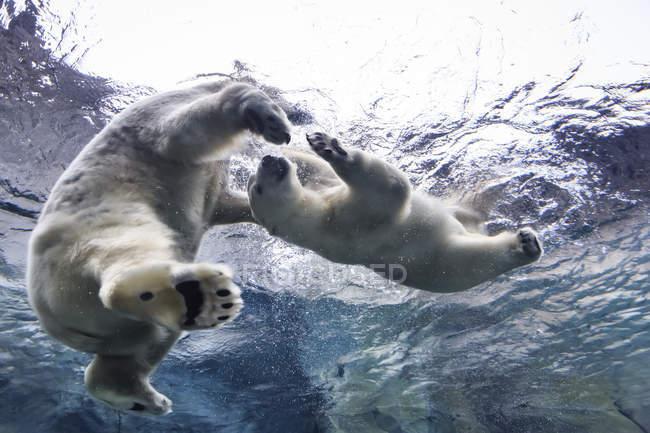 Eisbären spielen im assiniboine park zoo, manitoba, canada — Stockfoto