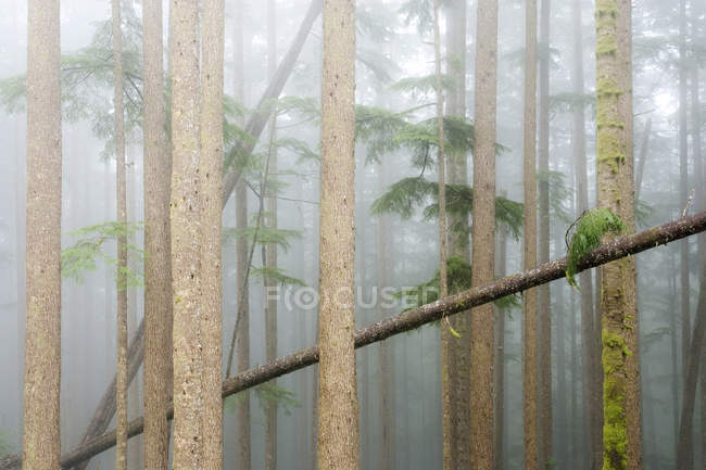 Tree trunks with moss and leaves in foggy forest of old-growth western hemlocks, Vancouver Island, British Columbia, Canada. — Stock Photo