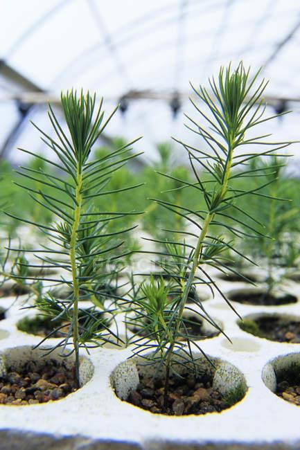 Spruce seedlings in rack at plant nursery — Stock Photo