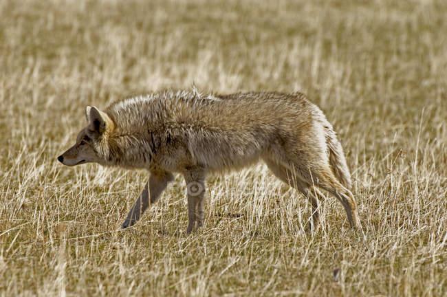 Kojotenjagd auf Wiesen, Waterton Sees Nationalpark, Alberta, Kanada. — Stockfoto