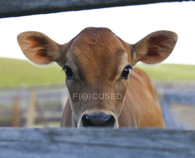 Цікаво теля в обори фермі в провінції Альберта, Канада. — стокове фото