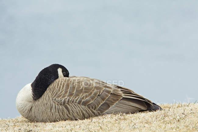 Canada nidificazione dell'oca nel prato del Bow Valley Provincial Park, Alberta, Canada — Foto stock