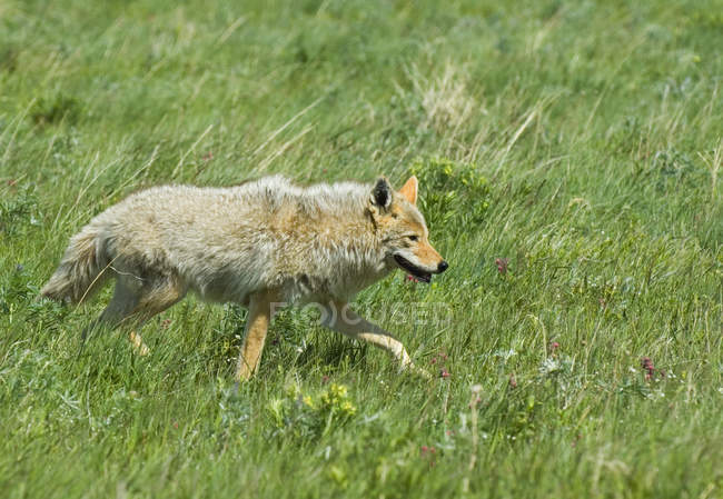 Coyote hunting on prairie grassland of Waterton Lakes National Park, Alberta, Canada. — Stock Photo