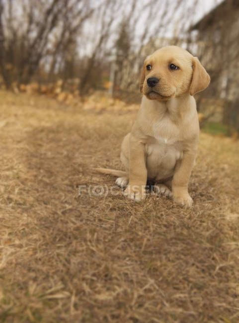 Chiot Labrador assis sur un sol automnal en yard. — Photo de stock