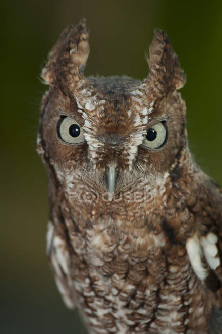 Eastern screech-owl looking in camera, close-up. — Stock Photo