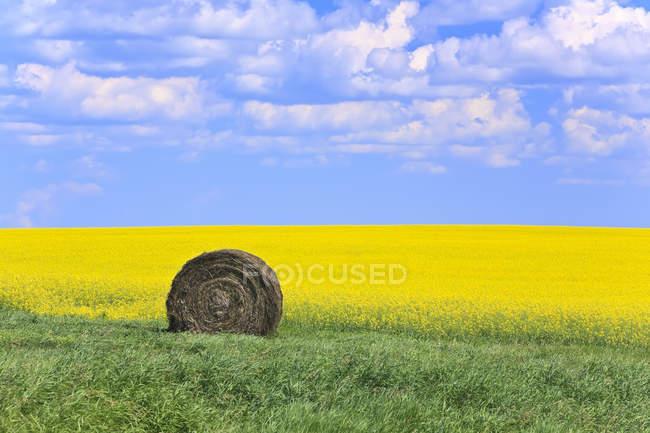 Сіно Бейл і каноли поля поблизу Neepawa, Манітоба, Канада — стокове фото