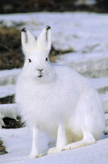 Alert arctic hare sitting on snowy ground — стоковое фото