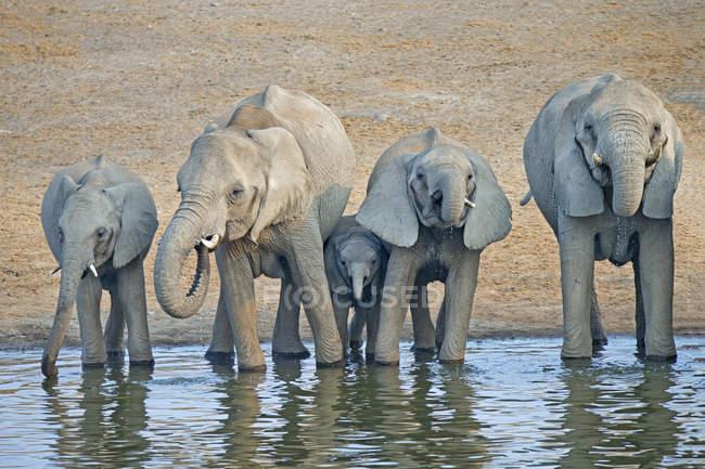 Éléphants d'Afrique buvant au point d'eau du parc national d'Etosha, Namibie — Photo de stock