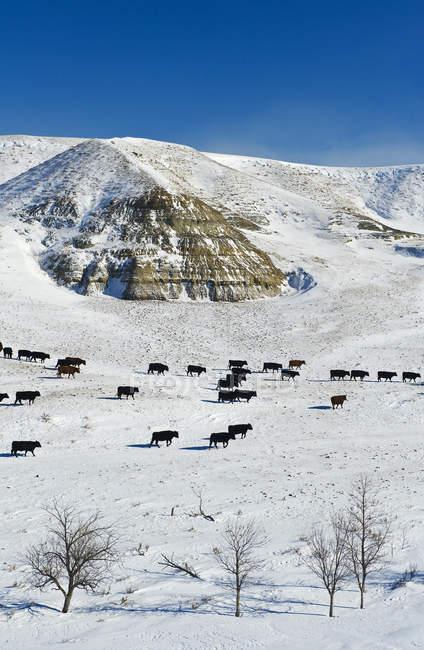 Rinder in schneebedeckten großen schlammigen Badlands, Saskatchewan, Kanada — Stockfoto