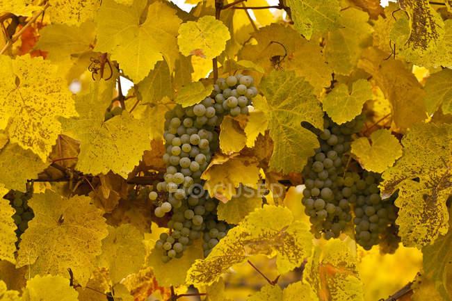 Gewurztraminer grapes on vines at autumn harvest. — Stock Photo