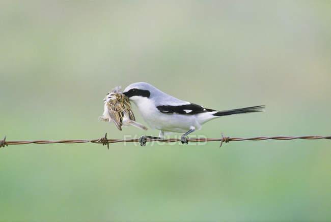 Loggerhead shrike uccello appollaiato sul filo spinato con la preda color argilla passero. — Foto stock