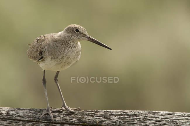 Willet uccello appollaiato sul registro all'aperto, primo piano. — Foto stock